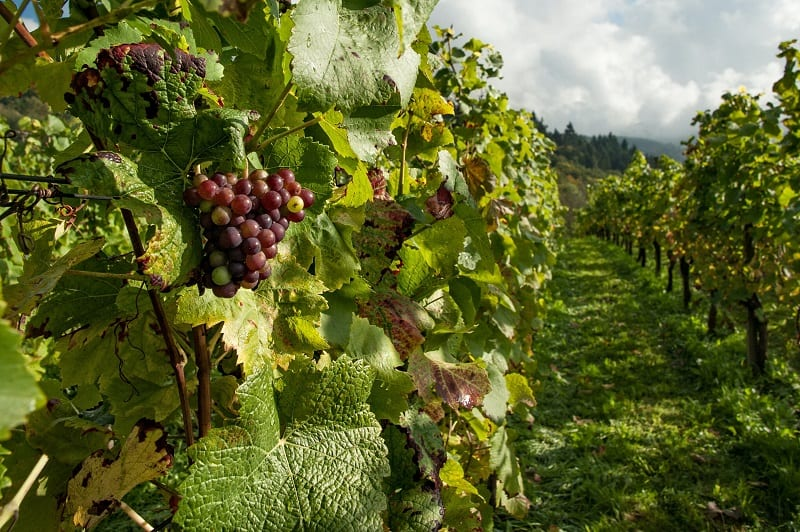 Oregon Wines Buying Guide