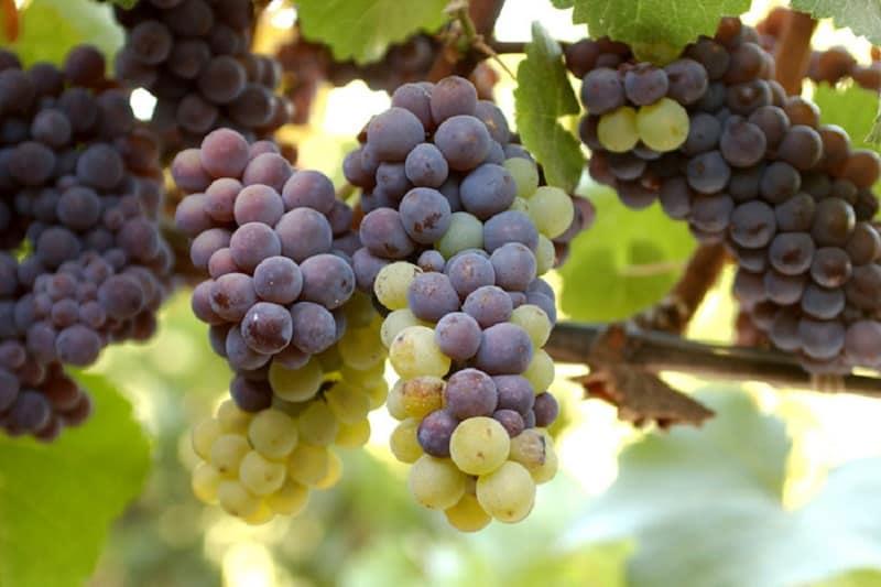 Pinot Grigio wine production