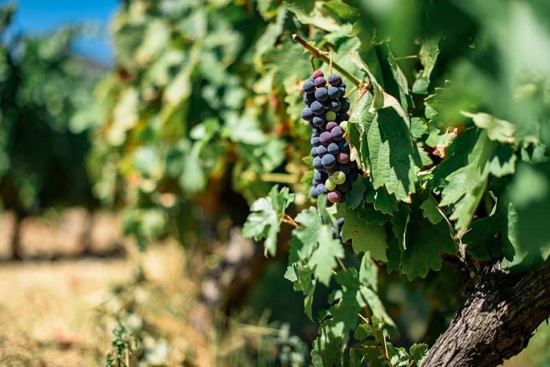 Port Wine Grape Variety