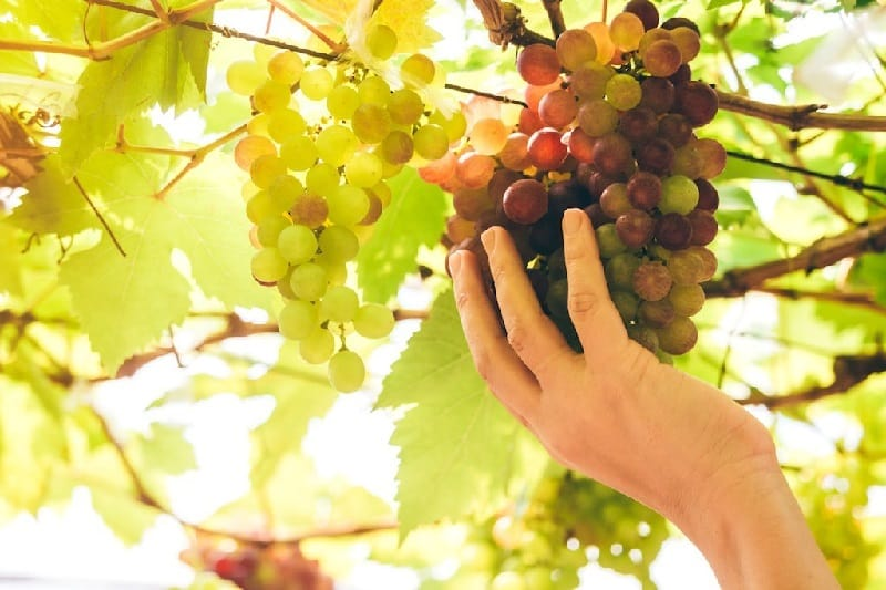 taste of Pinot Grigio