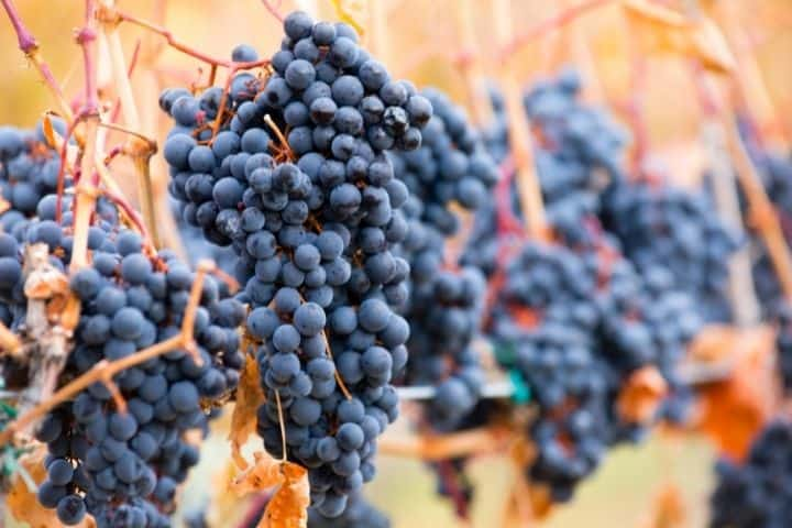 Are Pinot Noir and Shiraz wines better Aged