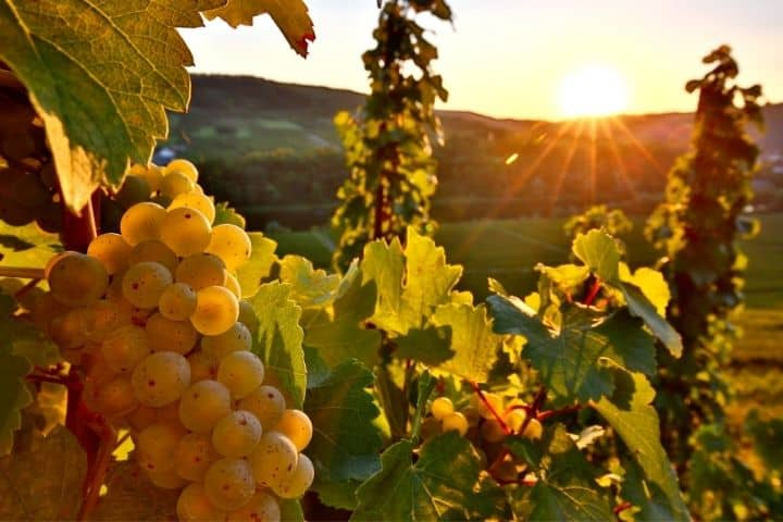 Pros and Cons of Relax Riesling Wine